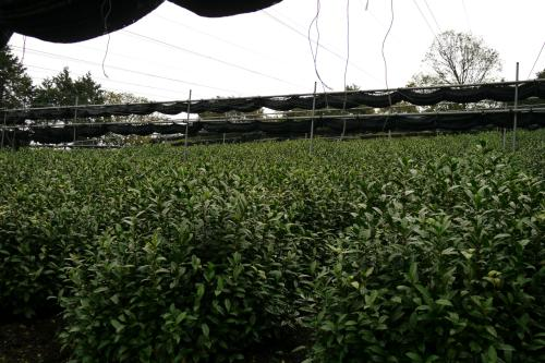 An example of plantation of tencha (not gyokuro) in Uji.