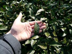 Yabukita leaf in Mariko.